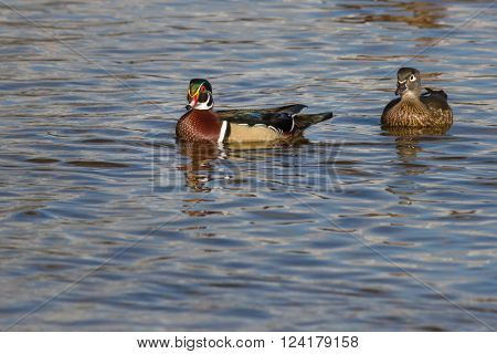 Beautifull male wood duck on the water in a lake with other birds