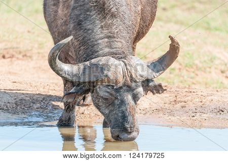 A muddy Cape Buffalo Syncerus caffer drinking water