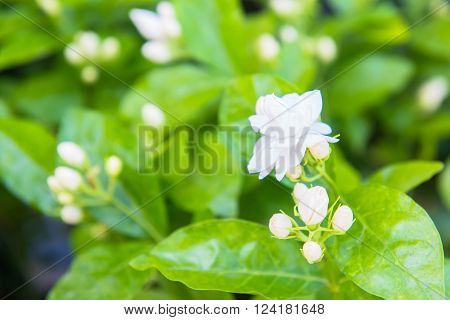 Jasmine, the white flowers in the glass house
