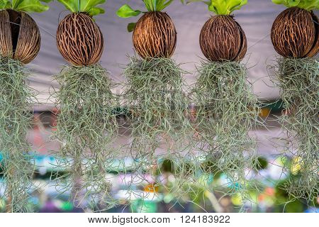 The hanging plantation for the house decoration