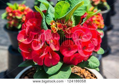 Crown of Thorns flower in the garden