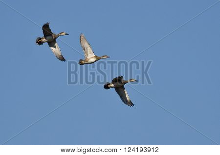 Three Gadwall Flying in a Blue Sky