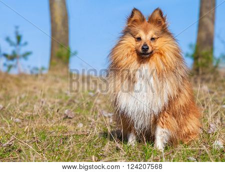 a young Sheltie dog sits on grass
