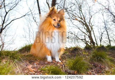 a young Shelty dog sits on grass