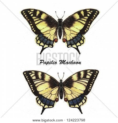 Hand drawn watercolor illustration of isolated tropical butterflies: Papilio Machaon.
