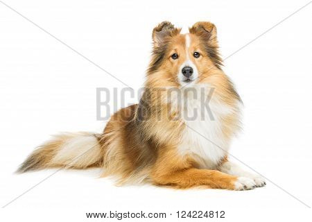 Beautiful brown sheltie dog isolated over white background. Copy space.