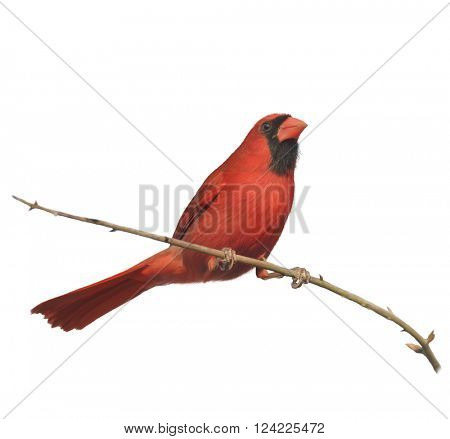 Digital Painting of Male Northern Cardinal Perching on a Branch