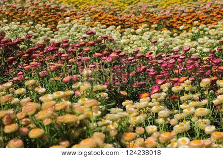 Different Colours Beautiful Helichrysum Flowers Feild In The Garden