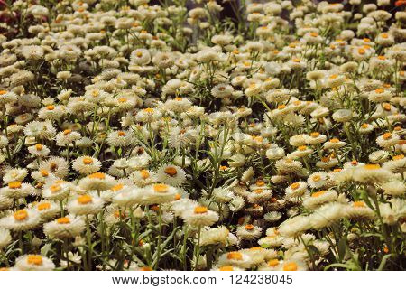 A Beautiful White Helichrysum Flower Background And Texture