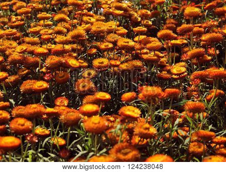 A Beautiful Orange Helichrysum Flower Background And Texture