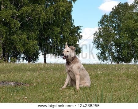 Watchdog rustic dog Omsk region Russia June 2014