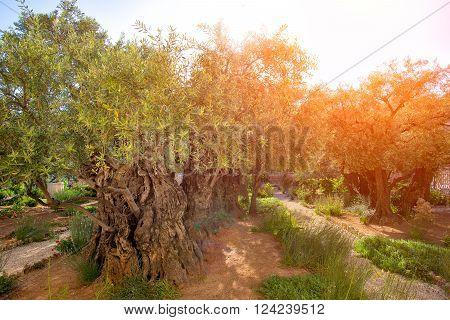 Garden Of Gethsemane Olive Orchard.