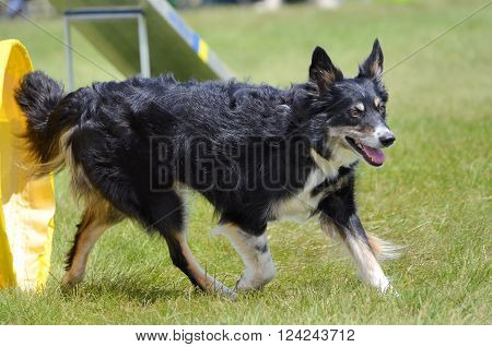 LAKE ELMO, MN - JUNE 8 2016: Mixed-Breed Dog Leaving a Tunnel at Dog Agility Trial