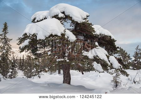 Pine tree covered by snow in the middle of norway