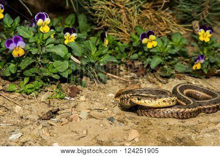 An Eastern Garter Snake basking in the garden.