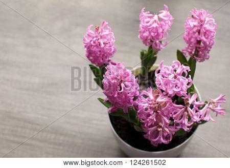 Group of booming hyacinth flowers on wooden background