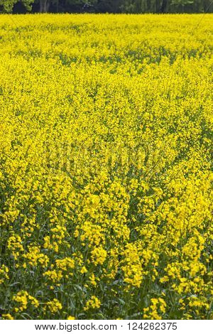 Beautiful rapeseed field in the springtime, Germany