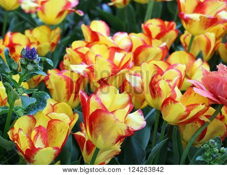 Bright yellow and red tulips in a flower garden