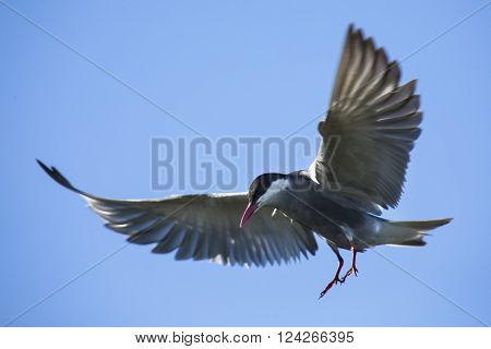 Whiskered tern in flight with open wings and red bill poster