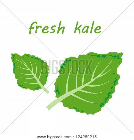 Fresh kale vector illustration. 10 eps vector illustration