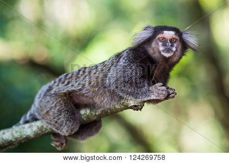 Sagui monkey in the wild in Rio de Janeiro, Brazil. The black-tufted marmoset (callithrix penicillata) lives primarily in the Neo-tropical gallery forests of the Brazilian Central Plateau.