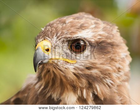 Portrait of european common buzzard - Buteo buteo