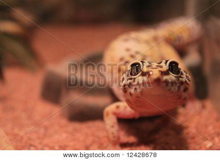 my pet gecko