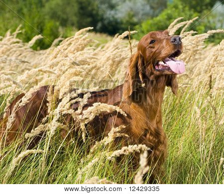 Irish Setter in high grass.