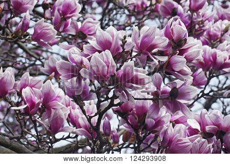 Saucer magnolia (Magnolia x soulangeana). Hybrid between Magnolia denudata and Magnolia liliiflora. Called Chinese Magnolia and Tulip Magnolia also