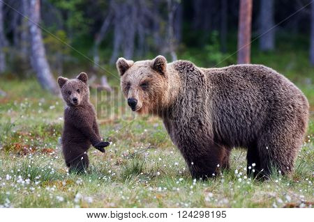 Brown bear cub standing and her mom close