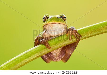 Hila arborea european tree frog is a small green tree frog