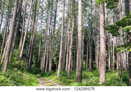 A peaceful trail through an evergreen forest.
