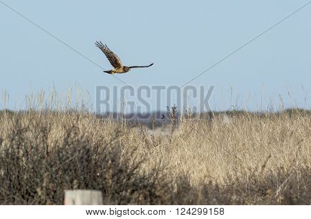 Female Northern Harrier flying low over beach