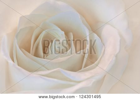 A beautiful close up of a white rose with a slight pink tint. Great romantic symbol for love.
