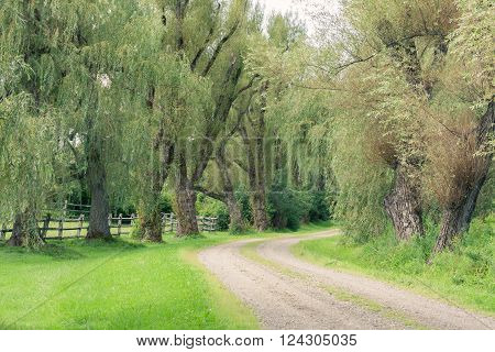 Dirt road lined with mature weeping willow trees.