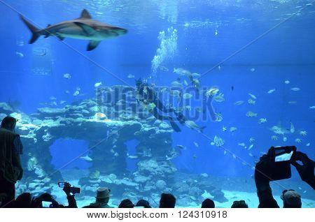 attraction diver feeding sharks in the Oceanarium in Eilat
