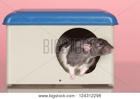 rat peep out of the house windows