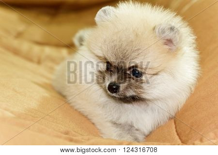 Close Up Cute little cream pomeranian on bed
