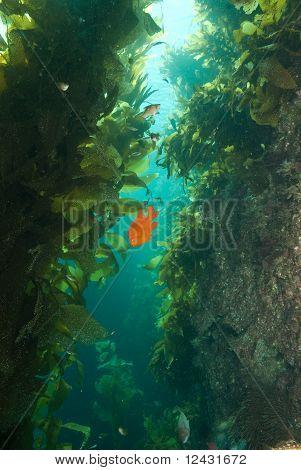 Garibaldi in kelp Bird Rock Catalina