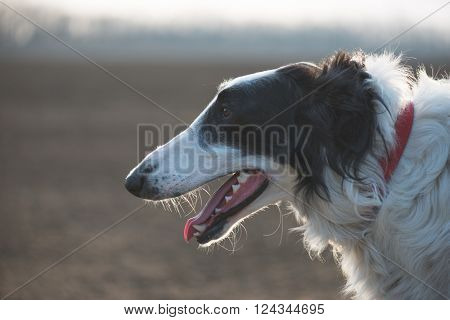 Dog portrait, Russian wolfhound dog, exhausted after running.