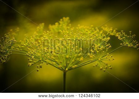 a spicy dill plant in full bloom