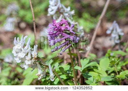 blooming corydalis flowers in the forest growing in the spring season
