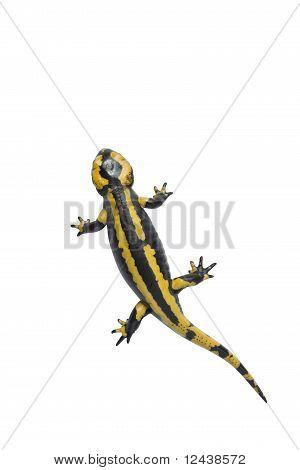 Beautiful Salamander On White.