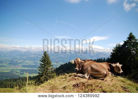 Cows relaxing on top of a mountain in the Bavarian Alps