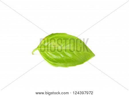 Fresh leaf of Basil close-up.Isolated on a white background.