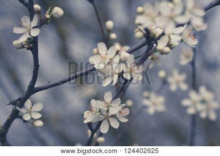 Beautiful White Cherry Flower Blossom Closeup