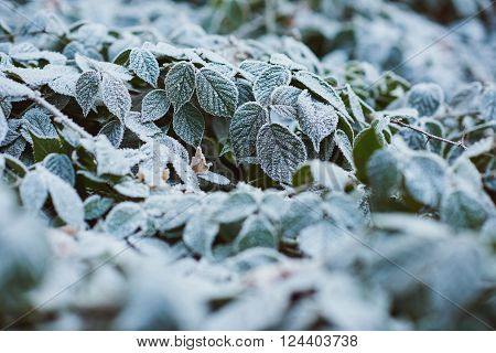 Nature image with no people of a green shrub with perfect green leaves covered in a crisp and delicate layer of perfect white frost
