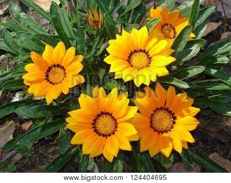 Five Gazania yellow flowers (treasure flowers), Othonna rigens.