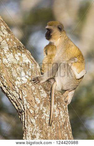 Female vervet monkey, Chlorocebus pygerythrus, looking for enemies and holds infant tight to her body in Tanzania, Africa. Mother takes care of her baby.