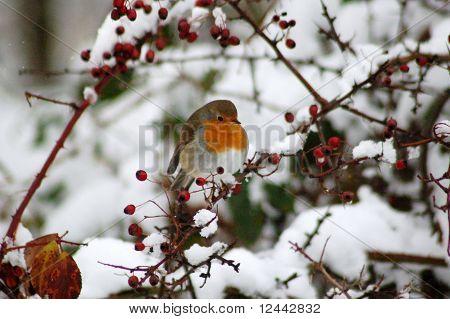 Robin in berry bush in the snow
